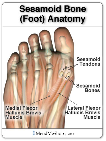2 sesamoids are located in the ball of the foot right near the big toe
